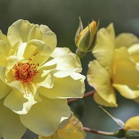 Olimpia Negura - Yellow rose