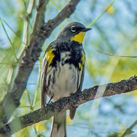 Tam Ryan - Yellow Rumped Warbler