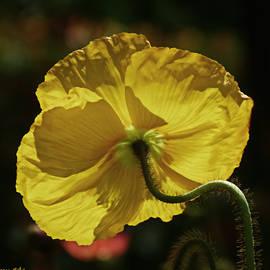 Arvydas Zilys - 2011, Yellow Poppy