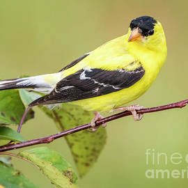 Ricky L Jones - American Goldfinch