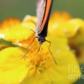 Gregory DUBUS - Fadet common butterfly pollination on silverweed flower