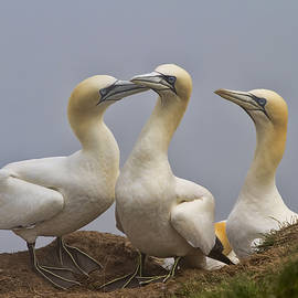 Chris Smith - Gannet