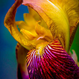 Jerri Moon Cantone - Iris