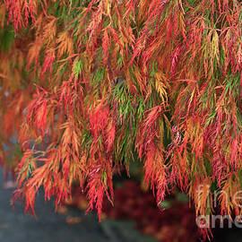 Tracy Hall - Japanese Maple Tree