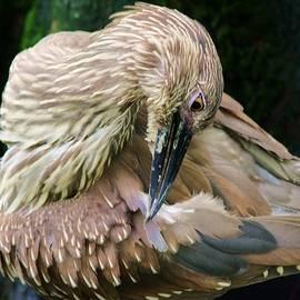 Paulette Thomas - Juvenile Black Crowned Night Heron