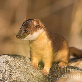 Dennis Hammer - Long Tailed Weasel Hunting