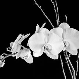 Scott Pellegrin - Orchid