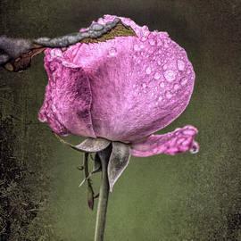 Ornella Bonomini - Rose After The Rain In The Garden