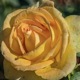 Jane Luxton - Yellow rose