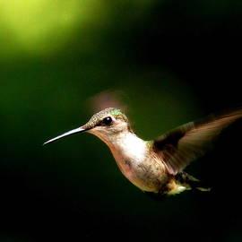 Travis Truelove - 3374 -  Ruby-throated Hummingbird