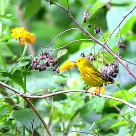 Travis Truelove - 3658 - 009 - Yellow Warbler