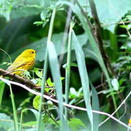 Travis Truelove - 3661-002 - Yellow Warbler