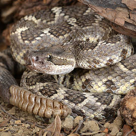 John Bell - Southern Pacific Rattlesnake