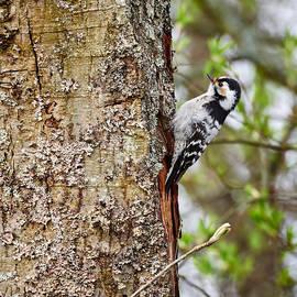 Jouko Lehto - Lesser spotted woodpecker