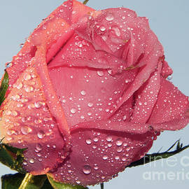 Elvira Ladocki - Pink Rose