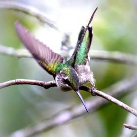 Travis Truelove - 4236-002 - Ruby-throated Hummingbird