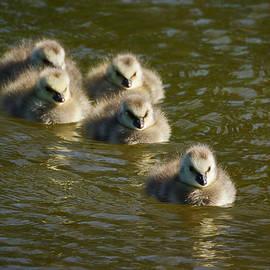 Jouko Lehto - Barnacle goose