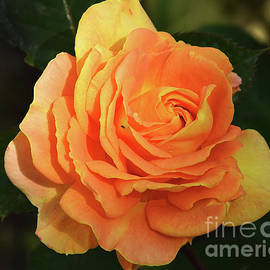 Elvira Ladocki - Orange Rose
