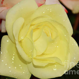Elvira Ladocki - Yellow Rose