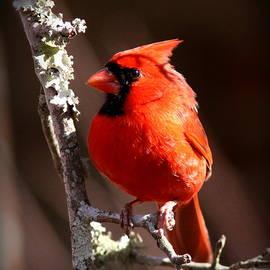 Travis Truelove - 5740 - Northern Cardinal