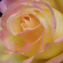 Shirley Mitchell - Rose Beauty