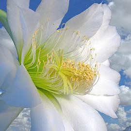 Allan Sorokin - Cereus cactus flower