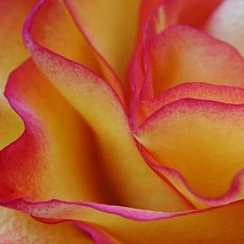 Carol Welsh - Rose Abstract