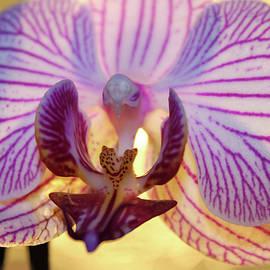 Ralph Klein - 770 Rose Orchid Flower
