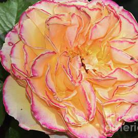 Elvira Ladocki - Nice Rose