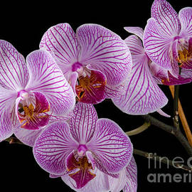Anthony Totah - Orchids