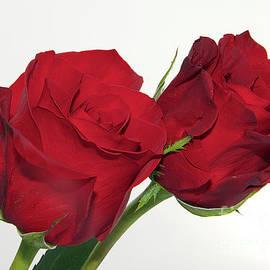 Elvira Ladocki - Red Roses