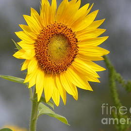 Robin Lee Mccarthy Photography - #933 D959 You Brighten My Day Colby Farm Sunflowers Newbury Massachusetts