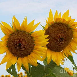 Robin Lee Mccarthy Photography - #933 D962 Better Together Colby Farm Two Sunflowers