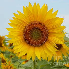 Robin Lee Mccarthy Photography - #933 D963 You are my Sunshine Colby Farm Sunflowers