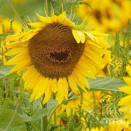 Robin Lee Mccarthy Photography - #933 D964 Plants Are People Too Colby Farm Sunflowers