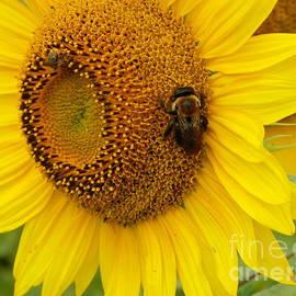 Robin Lee Mccarthy Photography - #933 D966 Honey Do Checklist Colby Farm Sunflowers