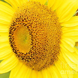 Robin Lee Mccarthy Photography - #933 D967 You Brighten My Day Colby Farm Sunflowers
