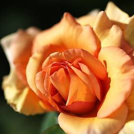 Joy Watson - A Blushing Orange Rose