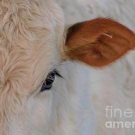 Photo Captures by Jeffery - A Brahma Calf