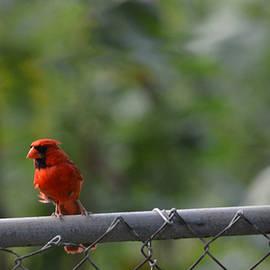 Carolina Liechtenstein - A Cardinal on a Fence
