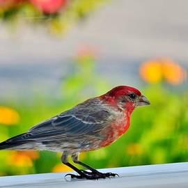 Kim Bemis - A Cardinal Posing