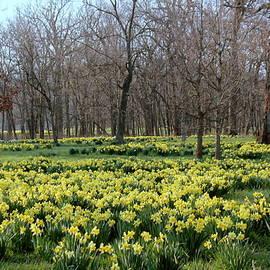 Rosanne Jordan - A Carpet of Daffodils at Morton Arboretum