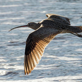 Bruce Frye - A Curlew Flying