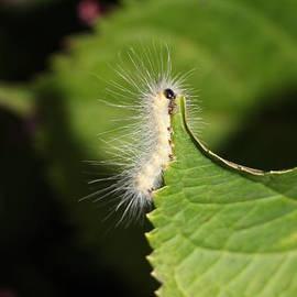 Jari Hawk - A Cute Caterpillar Eating Dinner