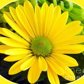 Karen Cook - A daisy a day