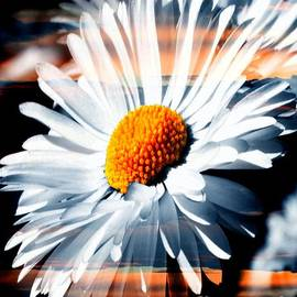 Annie Zeno - A Daisy In A Sunset