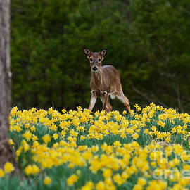 Douglas Stucky - A Deer and Daffodils II