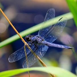 James Lafnear - A dragonfly