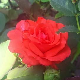 Charlotte Gray - A Fragrant Rose