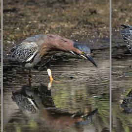 Bruce Frye - Green Heron Feeding- Triptych
